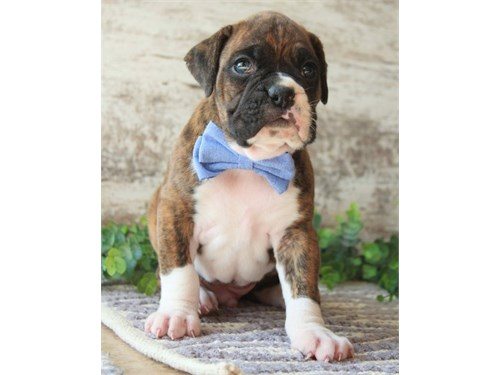 Great looking Boxer Pups
