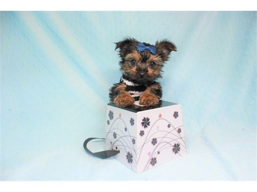 The Cutest Teacup Yorkie