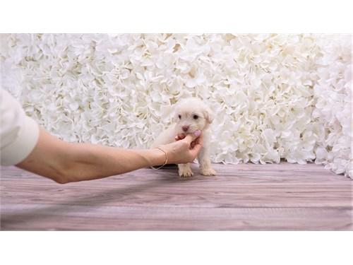 Malchipoo Puppy