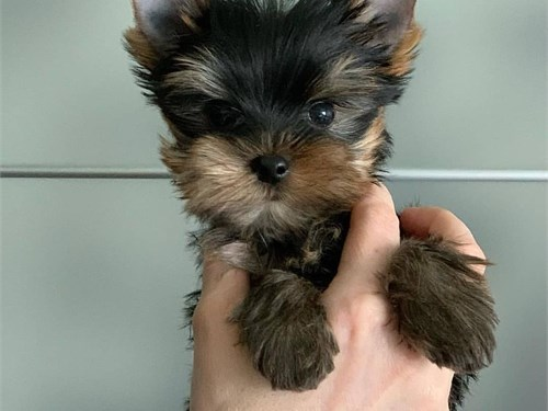 Yorkies Available Now !!!