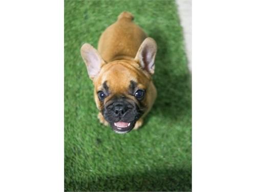 Red French Bulldog Puppy