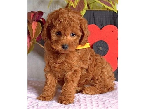 MINIGOLDENDOODLE FOR SALE