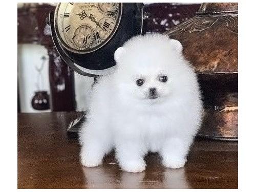 Excellent Pomeranian pupp