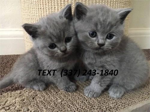 british/shorthair kittens