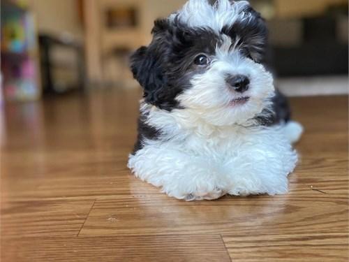 Male Malti'poo puppy