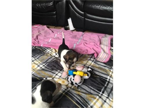 Beautiful Pedigree Beagle