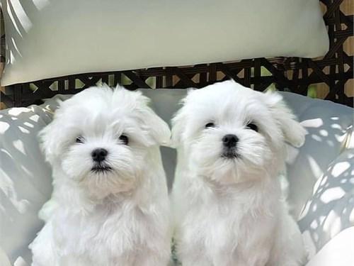 M@lte$e puppies for sale