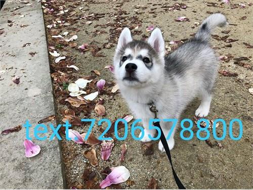 Pets,Siberian husky puppy