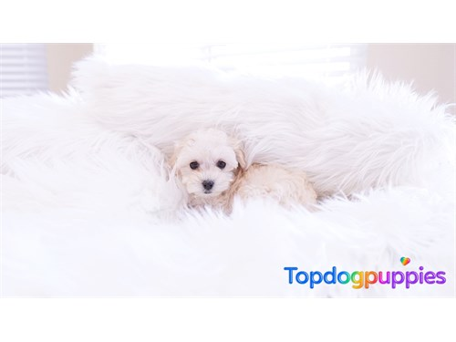 Maltipoo puppy dog