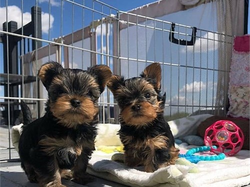 Lovely Yorkie Puppies for
