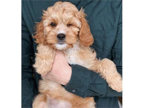 Cockapoo pup for adoption