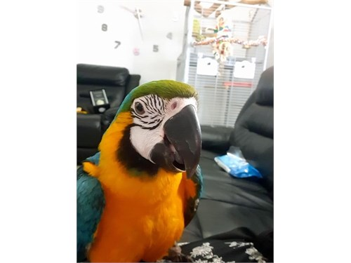 Blue and gold macaw 2ys