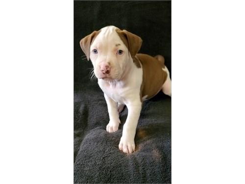 Lovely Pitbull Puppies