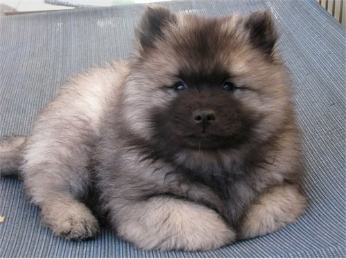 Keeshond Puppies Ready