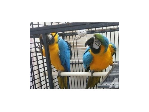 Blue And Gold Macaws Parr