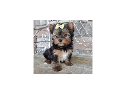 T Cup Yorkie Pups.