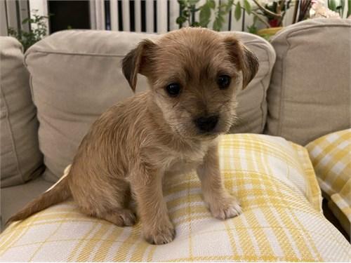 Yorkie Chi Mix Puppy