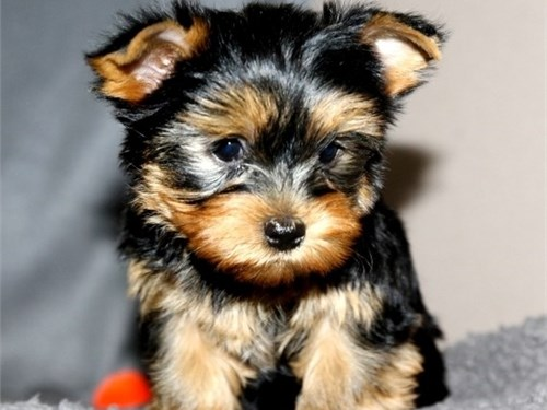 X mas yorkies for sale