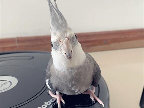 Baby white face cockatiel