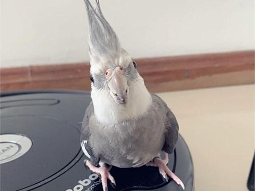 Baby white face cockatiel