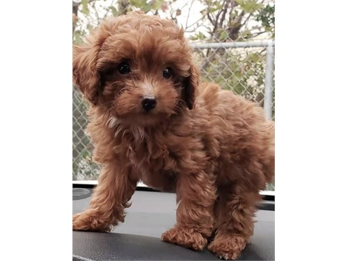 Red Toy Poodle
