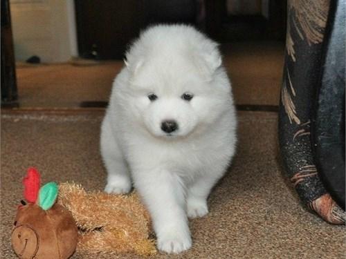 AKC Cute Samo.yed Pups