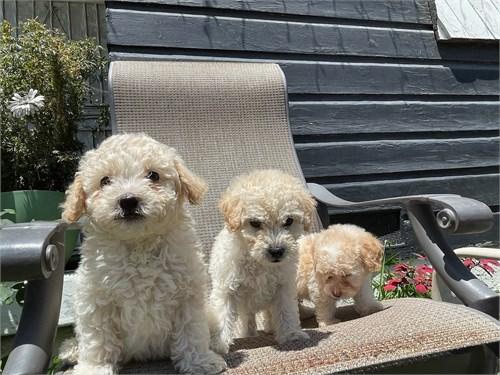 Maltipoo Pups $1200