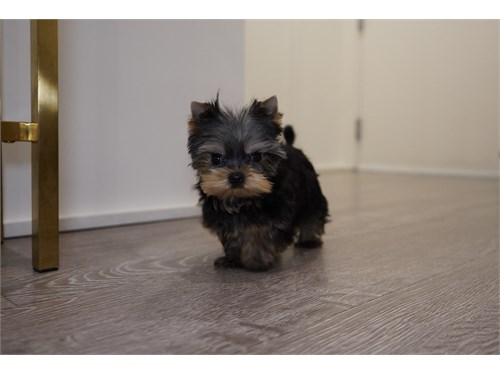 REAL DEAL TCUP YORKIE