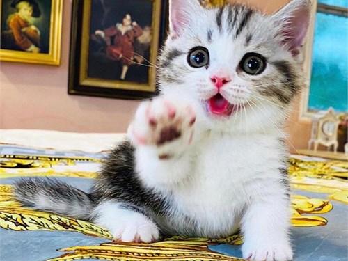 Great Munchkin Kittens