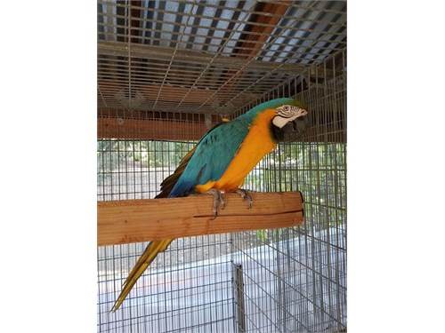 DNA Blue & Gold Macaw