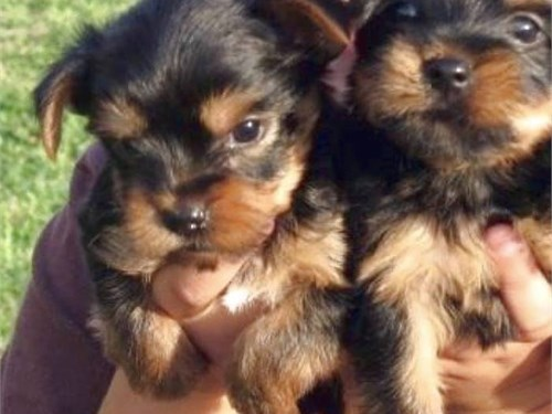Yorkie for good home