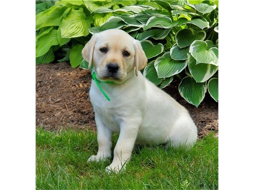 Labrador retriev puppies