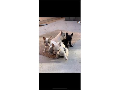 AKC French bulldogs