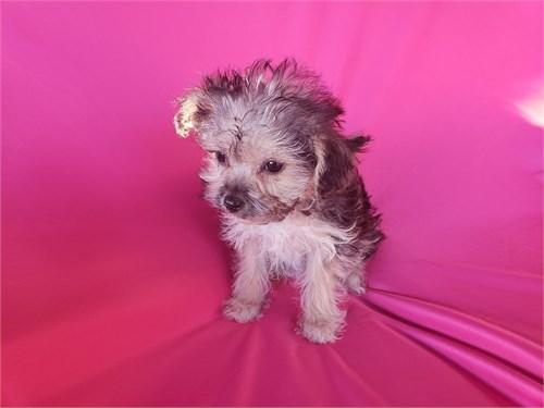 YorkiePoo Puppies