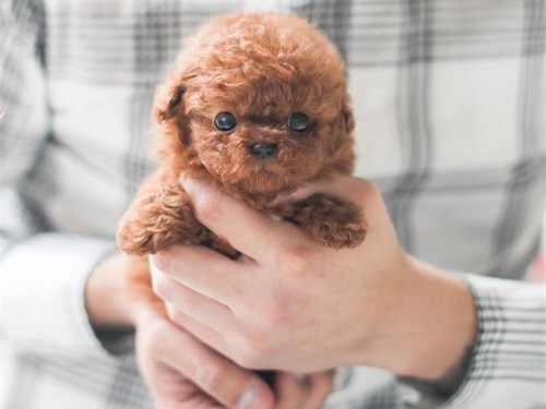 Very calm Toy Poodle pups