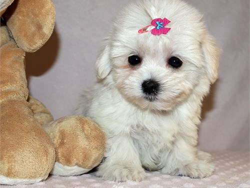 Maltipoo girl Lacey