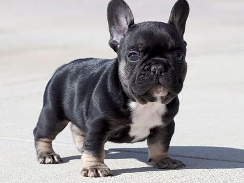 Black/Tri French Bulldog