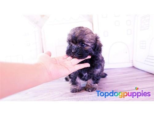 Shih tzu poodle Shihpoo