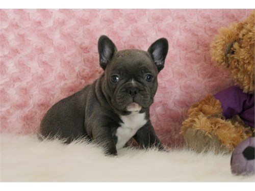 AKC Male Blue Teddy