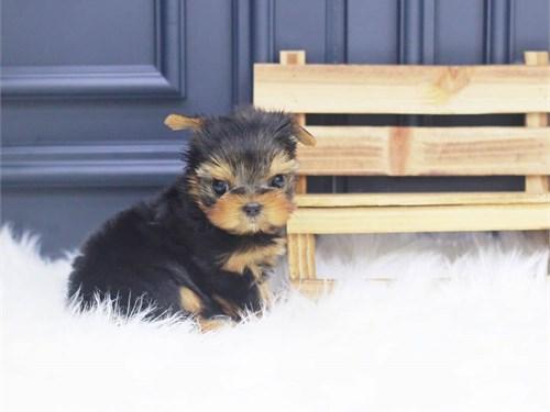 Mini Yorkshire puppies