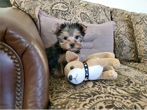 Adorable Yorkie Boy