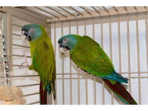 2 Blue headed macaw pairs