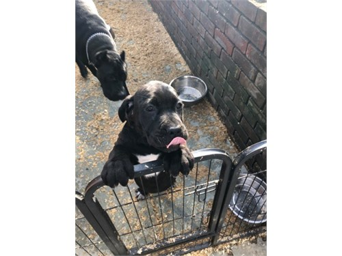 Beautiful Cane Corso Pups