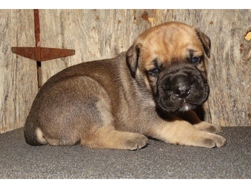 Bila Bullmastiff puppies