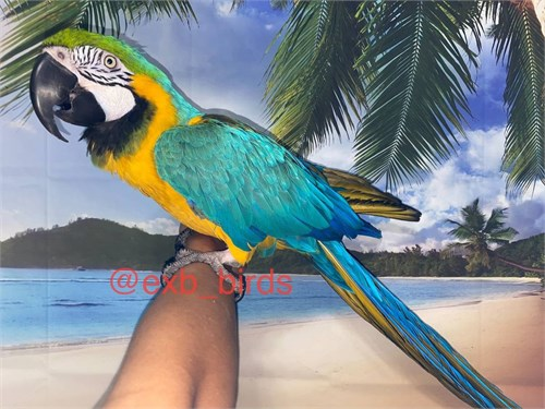 Tame Blue & Gold Macaw