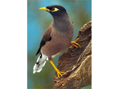Mynah common baby common