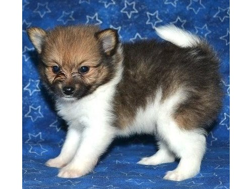 white and brown pom pup