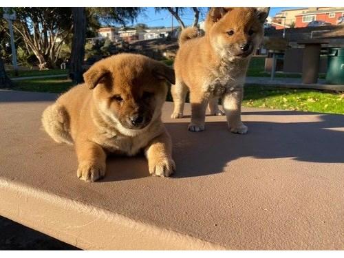 AKC Shiba Inu Puppies