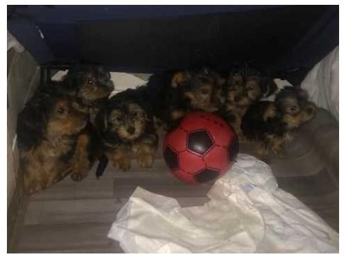 Yorkies Puppies