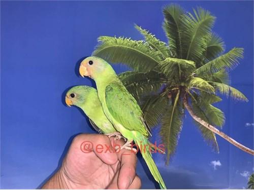 Baby Plum Headed Parrots